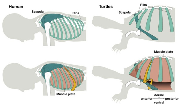 casco-tartaruga-1