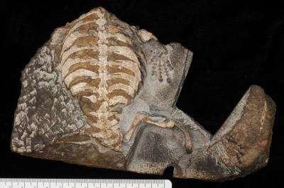 fossiltarta