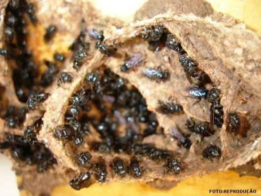abelha-boca-de-sapo-cursos-cpt