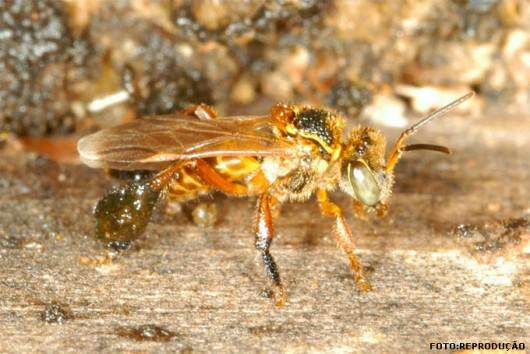 abelha-marmelada-amarela-brava-cursos-cpt