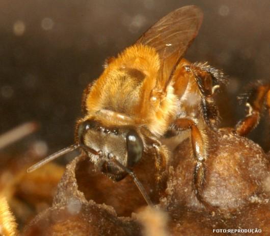 abelha-urucu-amarela-cursos-cpt