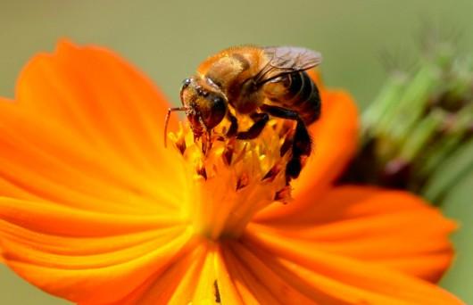 abelha-urucu-verdadeira-cursos-cpt
