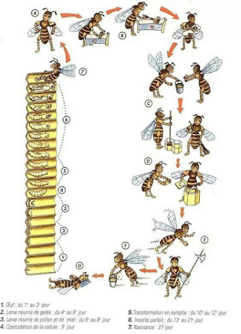 Cicloabelha on Honey Bee Life Cycle Chart